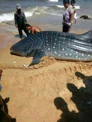 Photo: See The Massive Whale Shark Which Was Found Dead In Chinese Coastal Waters